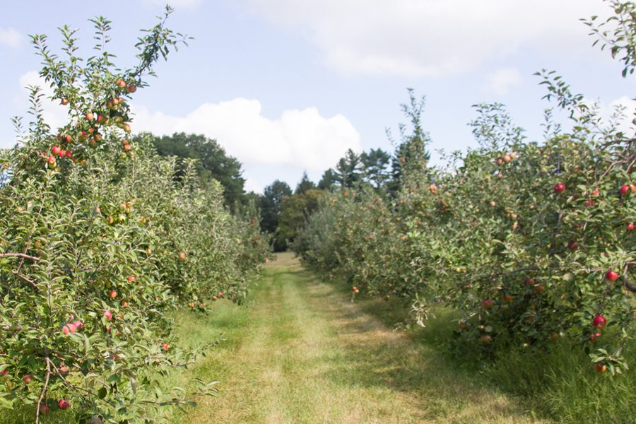 The apple orchard where Bradshaw's study is being conducted.