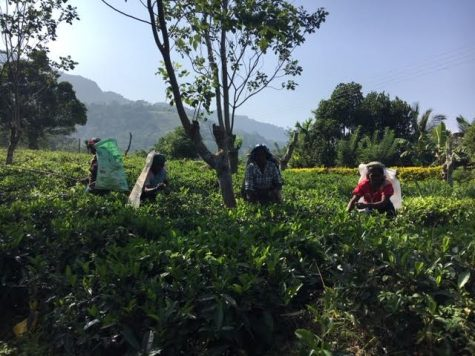Sri Lankan Tea Pickers: Plantations and the Periphery