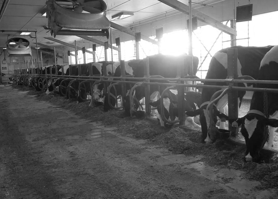 Inside UVM's Miller Farm, the herd of almost 100 cows are kept inside during the winter. The CREAM program allows students to work with cows to produce milk for ice cream offered at many of the on-campus dining halls.